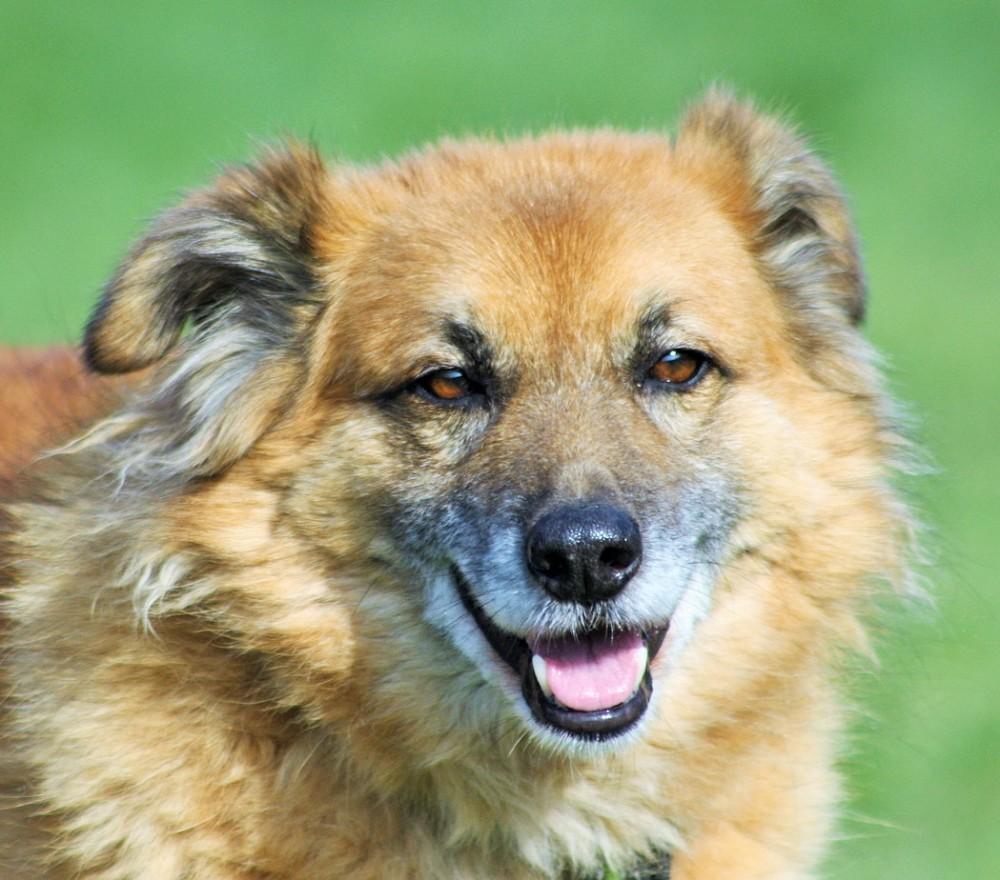 Teddy Golden Retriever Mischling 10 Jahre 11 Monate Hunde