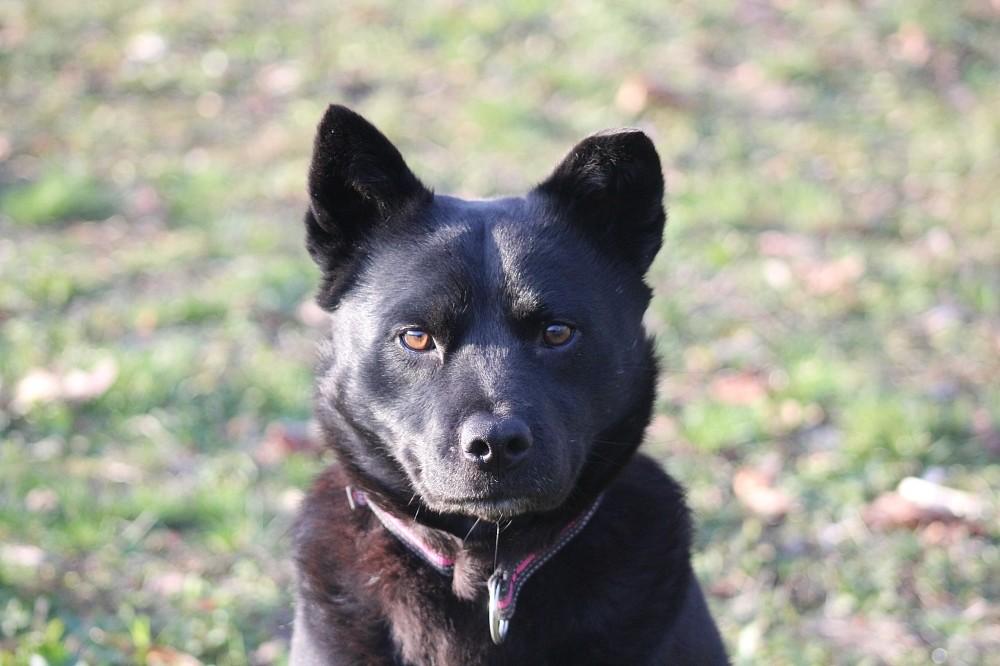 Murmel (Chow-Chow - Mischling, 5 Jahre 7 Monate) - Hunde ...  Murmel (Chow-Ch...